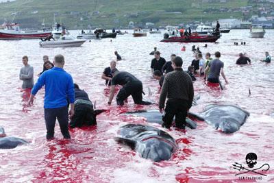 """Sea Shepherd : """"le Danemark est complice du massacre des dauphins"""" Cp_29082019-fr-01-sm"""