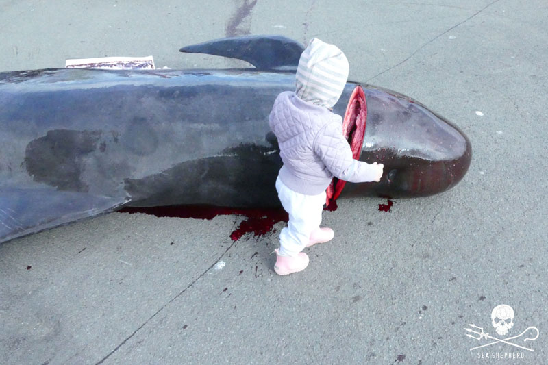 """Sea Shepherd : """"le Danemark est complice du massacre des dauphins"""" Cp_29082019-fr-03-md"""