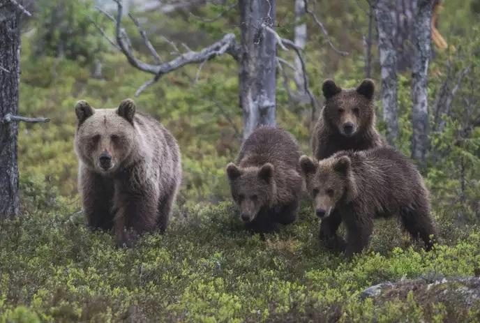 Effarouchement des ours : Sea Shepherd attaque l'arrêté illégal du préfet de l'Ariège au Tribunal Administratif