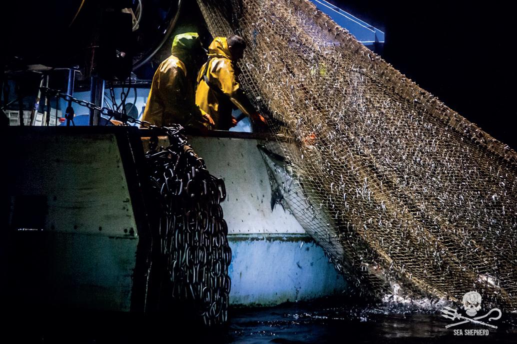 Sea Shepherd fait condamner l'Etat français pour les milliers de dauphins sacrifiés au secteur de la pêche et exige des caméras embarquées sur les navires