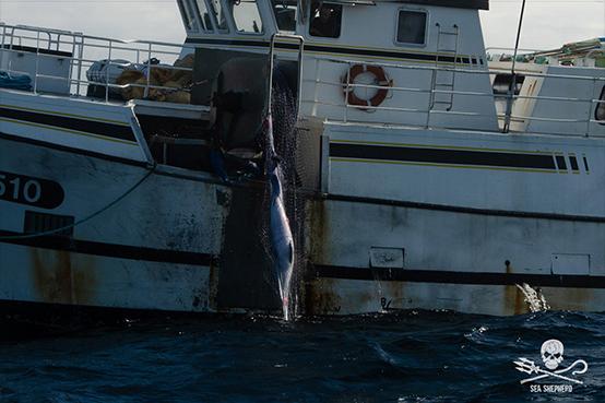 Un bateau de pêche français tue 5 dauphins en 24 heures
